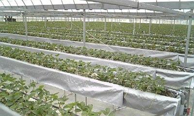 植え付け直後の苗の様子